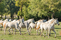 Lipizzan horses Royalty Free Stock Images