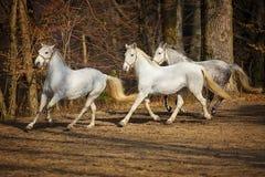 Lipizzan horses running royalty free stock photos