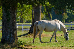 Lipizzan horses, Slovenia Royalty Free Stock Photo