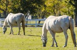 Lipizzan horses Stock Image