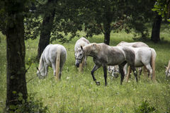 Lipizzan horses Royalty Free Stock Photo