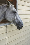 Lipizzan mare portrait Stock Photos