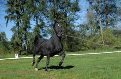 Lipizzan-Pferde Lizenzfreies Stockfoto