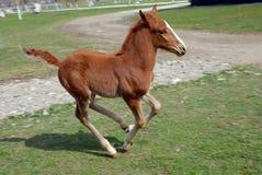 Lipizzan-Pferdefohlen Stockfotografie