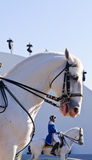 Lipizzan Stallions show Stock Photography