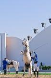 Lipizzan Stallionserscheinen Lizenzfreies Stockbild