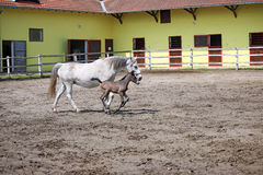 Lipizzaner foal running Stock Photography