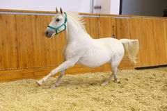 Lipizzaner at a gallop in empty arena Stock Images