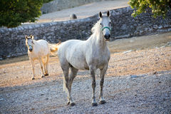 Lipizzaner horse Royalty Free Stock Photo