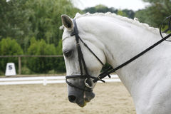 Lipizzaner horse with braided mane on the racetrack Royalty Free Stock Images