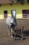 Lipizzaner horse and foal royalty free stock photo