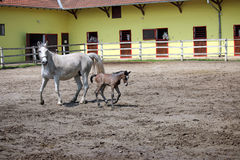 Lipizzaner horse and foal Royalty Free Stock Photos