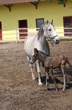 Lipizzaner horse and foal Royalty Free Stock Photography