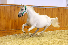 Lipizzaner horse at a gallop in empty arena Royalty Free Stock Photos