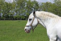 Lipizzaner horse Royalty Free Stock Image
