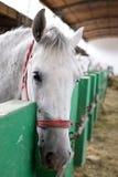 Lipizzaner horse head Royalty Free Stock Photos