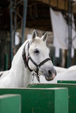 Lipizzaner horse portrait Stock Photos