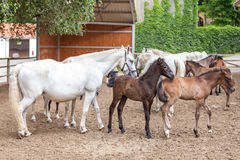 Lipizzaner horses Royalty Free Stock Photography