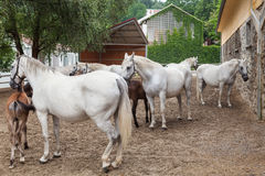 Lipizzaner horses Stock Photo