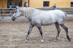 Lipizzaner horses Royalty Free Stock Photo