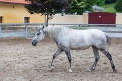 Lipizzaner horses Stock Image