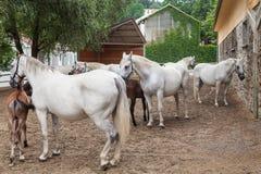 Lipizzaner horses Stock Photo