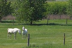 Lipizzaner horses on green field Stock Image