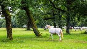 Lipizzaner horses in the meadow Stock Photos