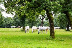 Lipizzaner horses in the meadow Royalty Free Stock Photography