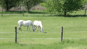Lipizzaner horses on pasture. Landscape stock footage