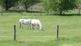 Lipizzaner horses on pasture. Landscape stock footage
