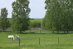 Lipizzaner horses on pasture Stock Photography