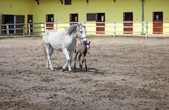Lipizzaner horses Royalty Free Stock Photos