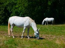 Lipizzaner horses Royalty Free Stock Photo