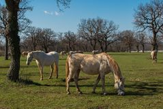 Lipizzaner konie zdjęcia stock