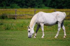 Lipizzaner mare on the farm Stock Photography