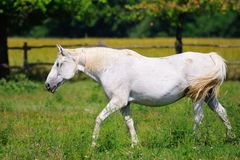 Lipizzaner mare on the farm Royalty Free Stock Image