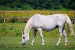 Lipizzaner mare on the farm Royalty Free Stock Photo