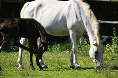 Lipizzaner mare and foal Royalty Free Stock Image