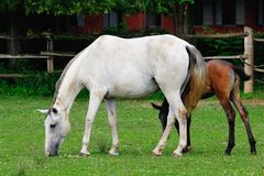Lipizzaner mare and foal Royalty Free Stock Photography