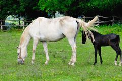 Lipizzaner mare and foal Royalty Free Stock Images