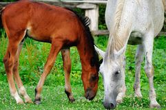 Lipizzaner mare and foal Royalty Free Stock Photo