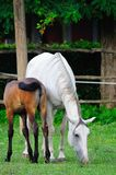 Lipizzaner mare and foal Stock Images