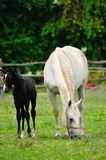 Lipizzaner mare and foal Stock Photo