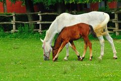 Lipizzaner mare and foal Stock Photos