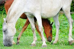 Lipizzaner mare and foal Royalty Free Stock Photos