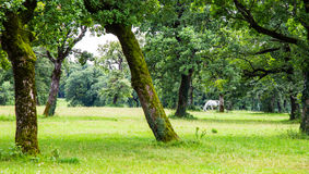 Lipizzaner in the meadow Stock Images