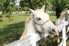 Lipizzaner-Pferd in Lipica, Slowenien Stockbild
