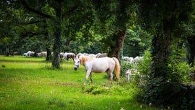 Lipizzaner-Pferde in der Wiese Lizenzfreie Stockbilder