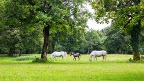 Lipizzaner-Pferde in der Wiese Stockfotos